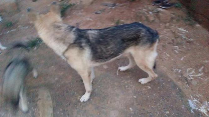 Adult GSD for sale
