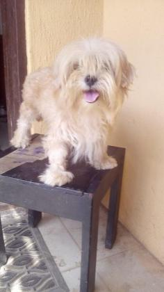 5 Month Old Female Lhasa Apso