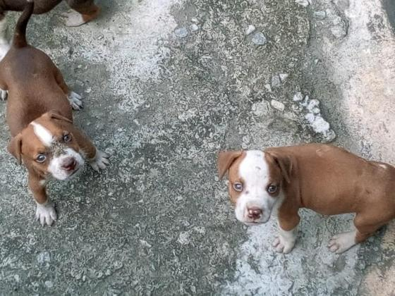 American Pitbull Puppies Available