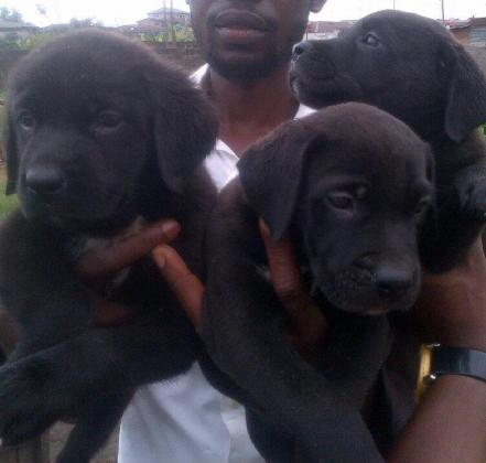 Black boerboel puppy for sale