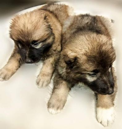 Female Full Breed Caucasian Puppies