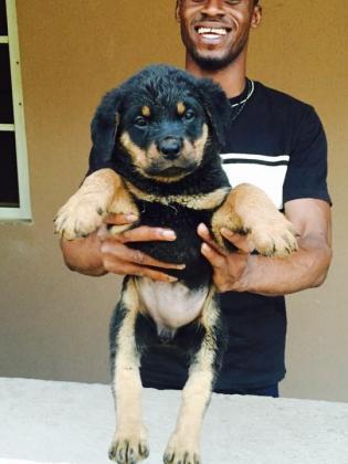 Female Rottweiler Puppy