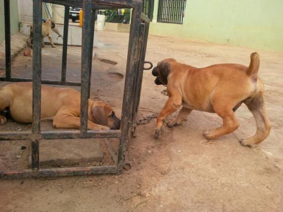 Full Breed Pedigree Boerboel Puppies