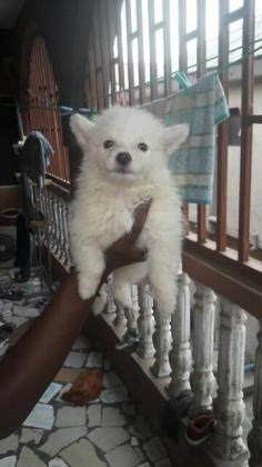 Lovely American Eskimo Male Puppy