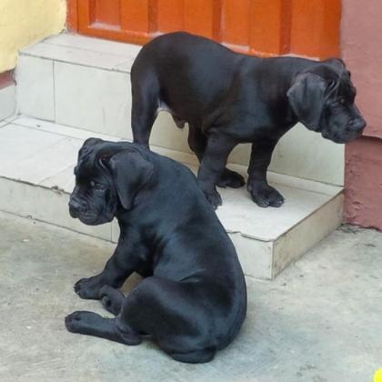 Two Special Pedigree Black Boerboel Pups