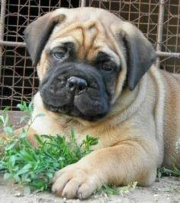 Cute/Pure /Full breed Bull Mastiff Dog/puppy For Sale Going For N55,000