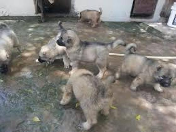 Cute/Pure /Full breed Caucasian Dog/puppy For Sale Going For N55,000