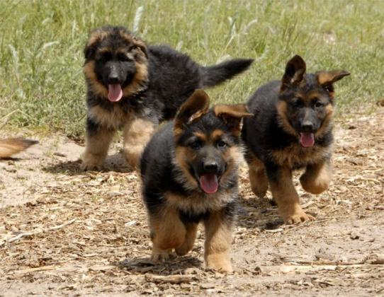Cute/Pure /Full breed German Shepherd Dog/puppy For Sale Going For N55,000