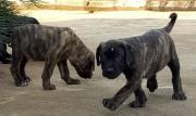 Cute/Pure /Full breed Boerboel Dog/puppy For Sale Going For N55,000