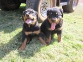 Cute/Pure /Full breed Rottweiler Dog/puppy For Sale Going For N55,000
