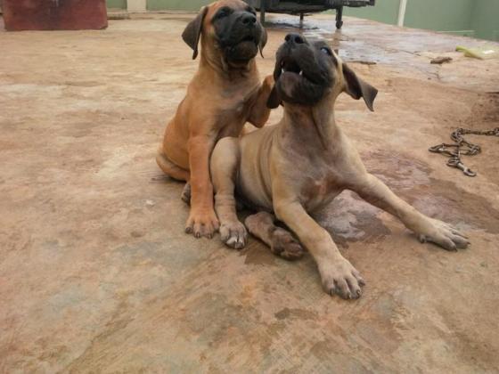 Beorboel puppies