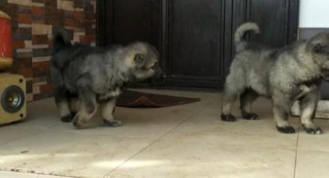 Caucasian puppies