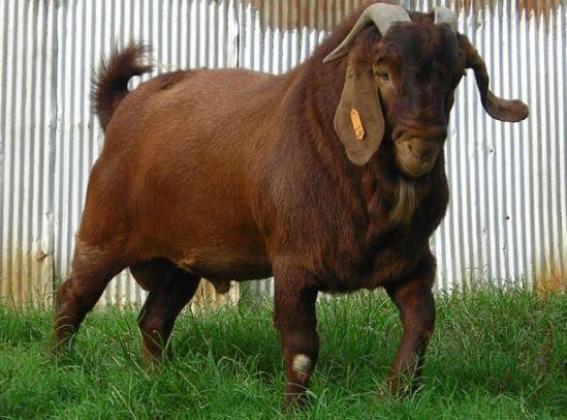 Kalahari red goat for sale