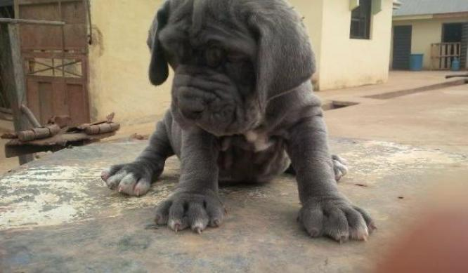 Pure Neapolitan Mastiff dog/puppy For Sale Going For N55,000