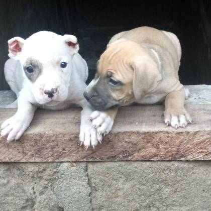 Pure Pitbull Dog dog/puppy For Sale Going For N55,000