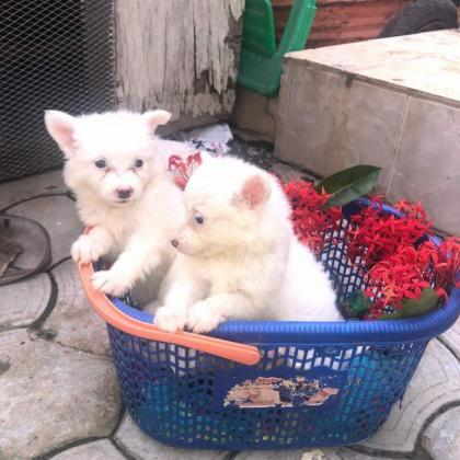 Pure Samoyed dog/puppy For Sale Going For N55,000