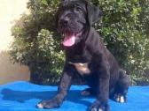 Pure Cane Corso dog/puppy For Sale Going For N55,000