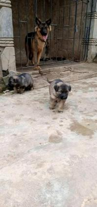 7 weeks old Caucasian puppies