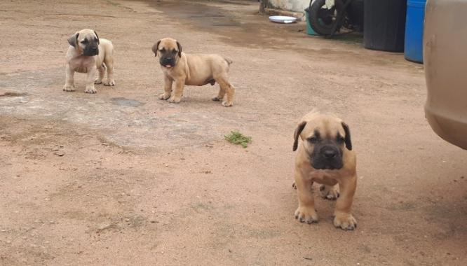 Pure BULL MASTIFF Dog/puppy For Sale At N50, 000 Contact: 08104035288