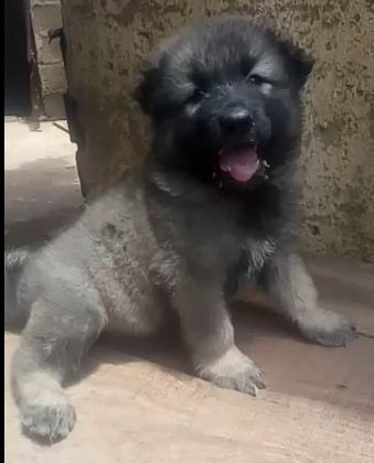 Pure Caucasian Dog/puppy For Sale At N50, 000 Contact: 08104035288