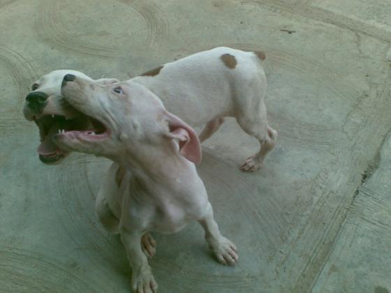 Pure Pitbull Dog/puppy For Sale At N50, 000 Contact: 08104035288