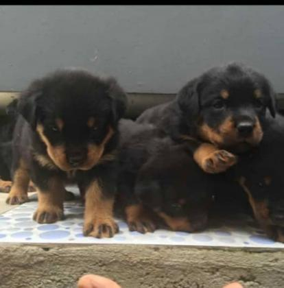 Pure Rottweiler Dog/puppy For Sale At N50, 000 Contact: 08104035288