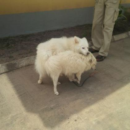 Pure Samoyed Dog/puppy For Sale At N50, 000 Contact: 08104035288