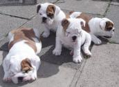 Pure BULL Dog/puppy For Sale At N50, 000 Contact: 08104035288
