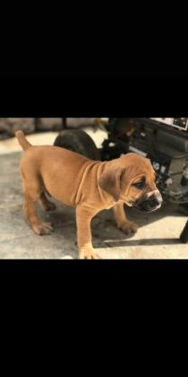 Pure breed boarboel puppy for sale